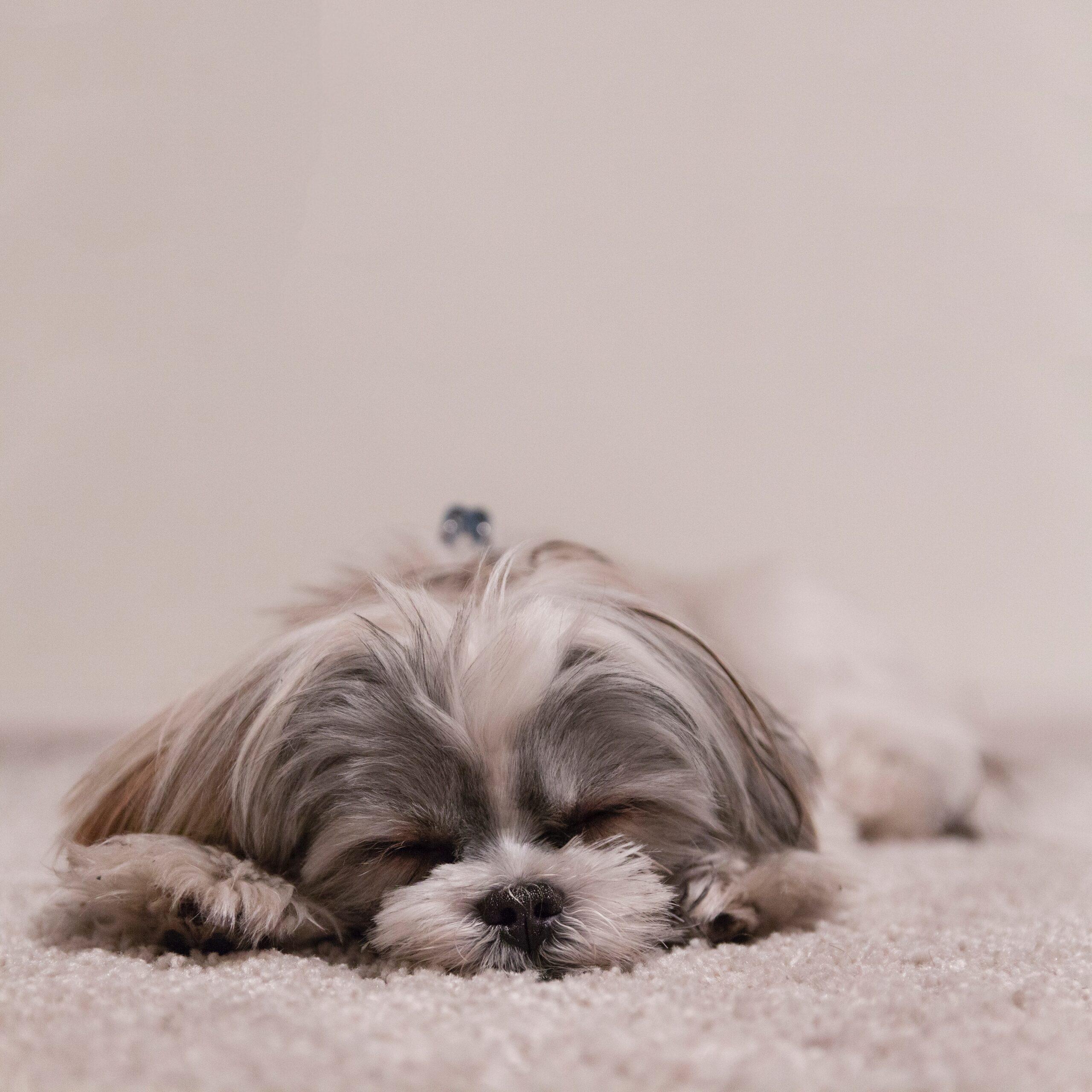 眠るコーギー