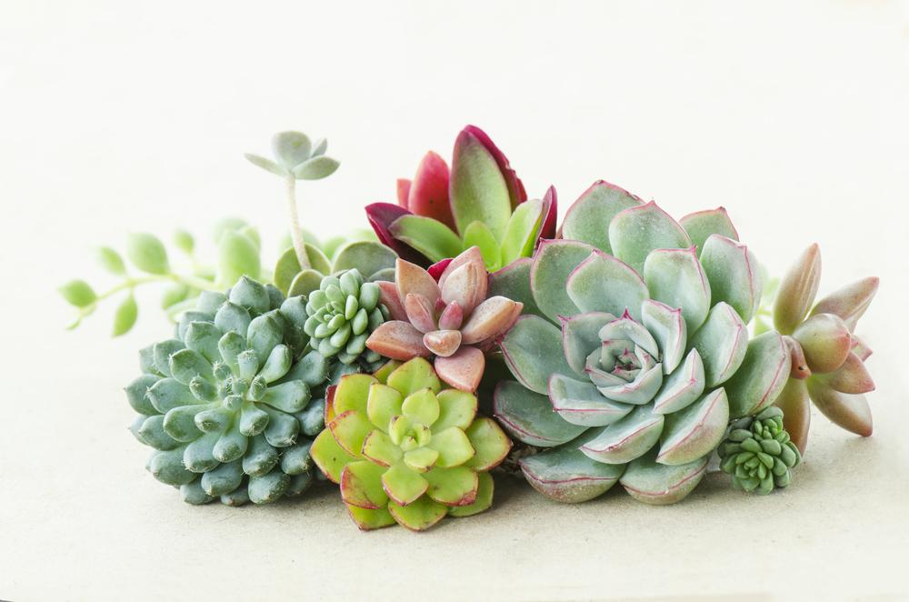 複数の多肉植物