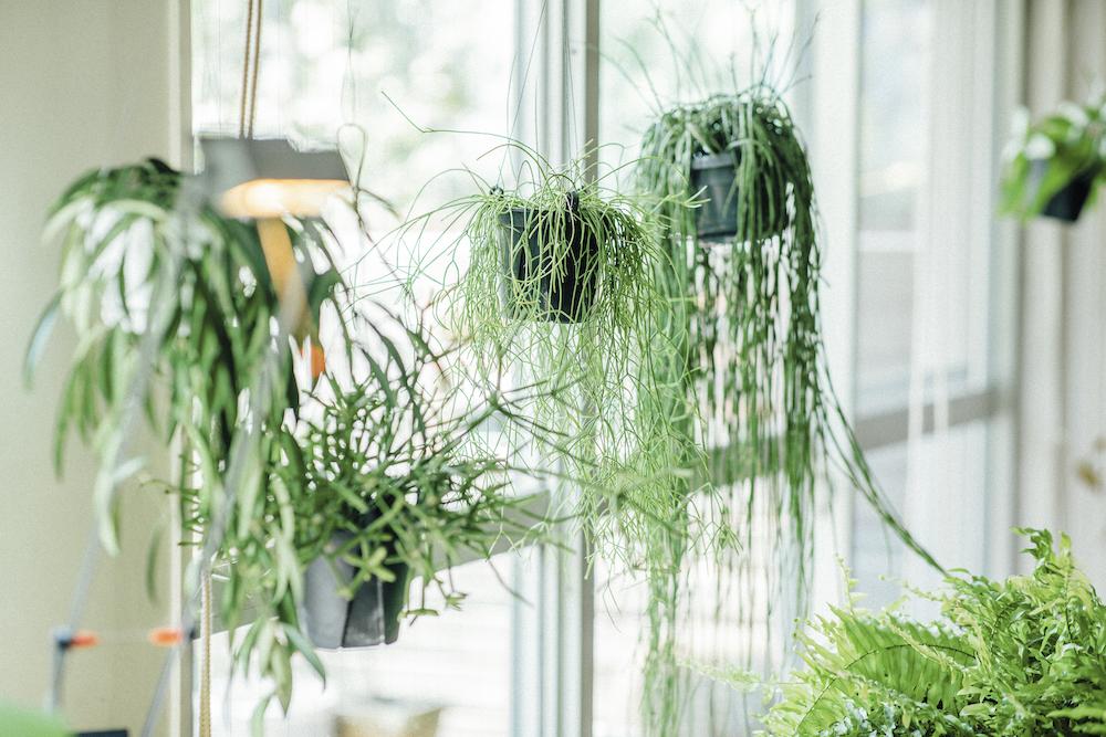 吊るすディスプレイの植物