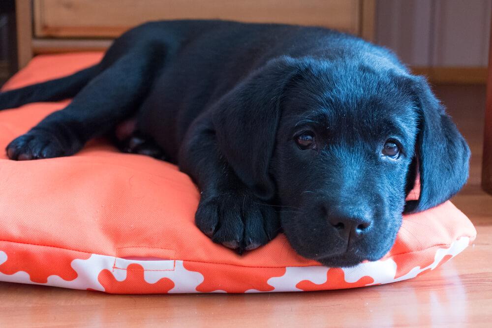 オレンジのマットの上で寝る犬