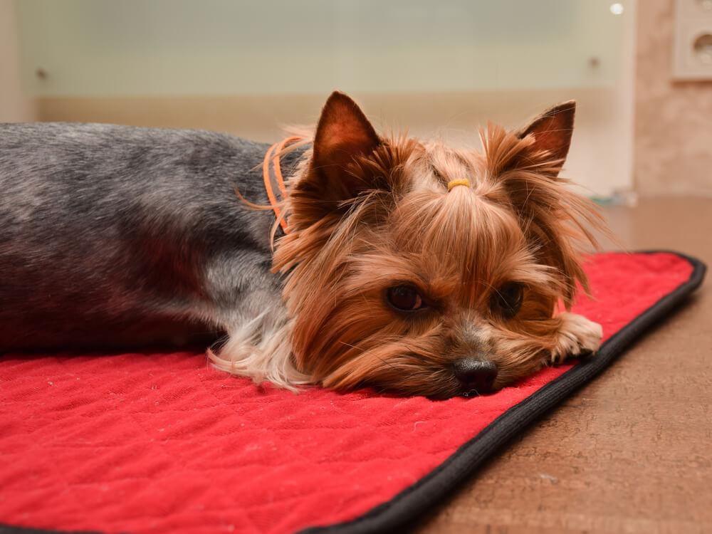 赤いマットの上に寝そべる犬