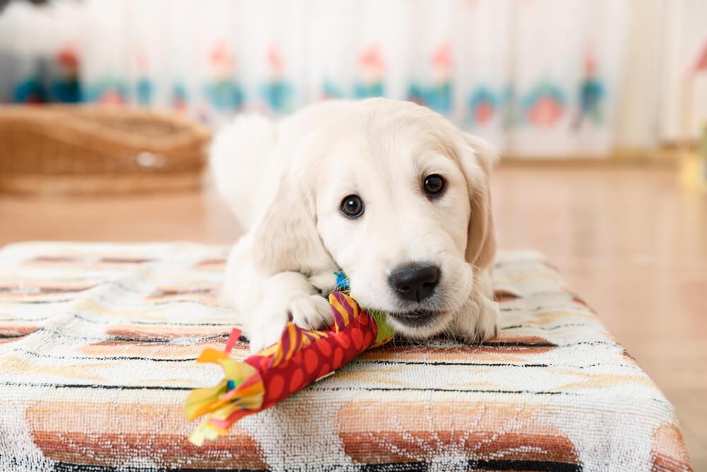 おもちゃで遊ぶラブラドールレトリバー