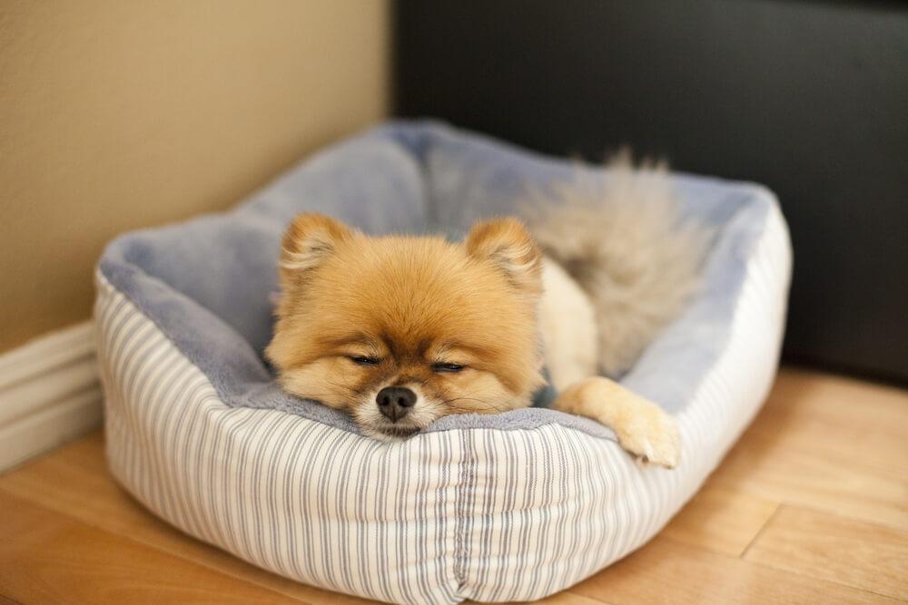 カドラータイプのペット用ベッドで寝る犬