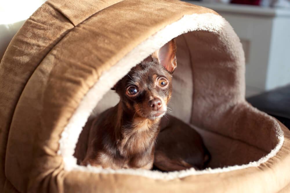 ドームタイプのペット用ベッドで寝る犬