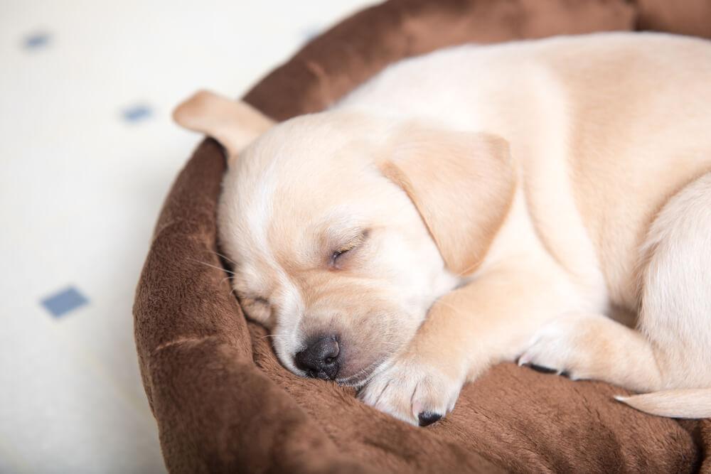 ペット用ベッドで寝る犬