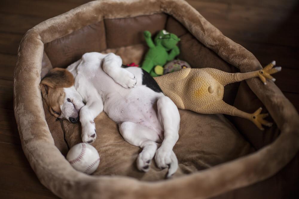 ペット用ベッドで寝る子犬