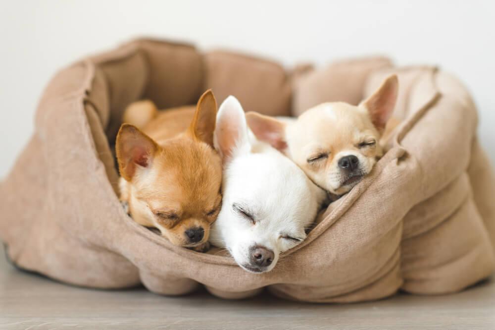 ペット用ベッドで寝る子犬達