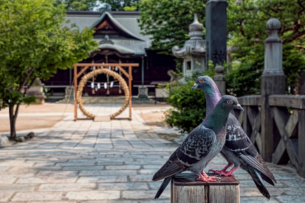 神社に設置された茅の輪と木に止まる鳩