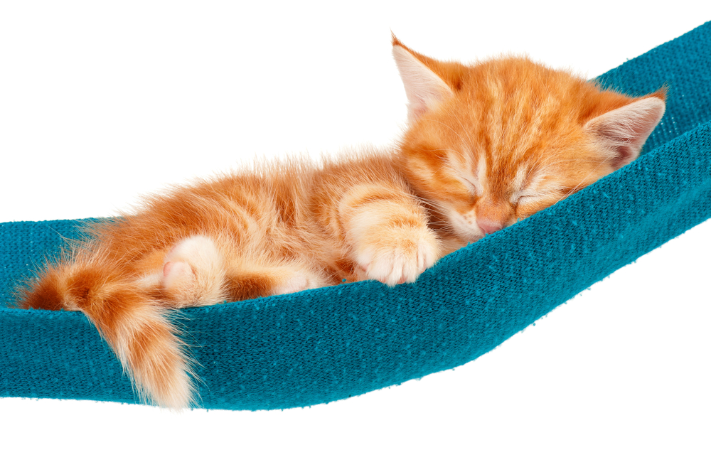 青いハンモックで寝る子猫