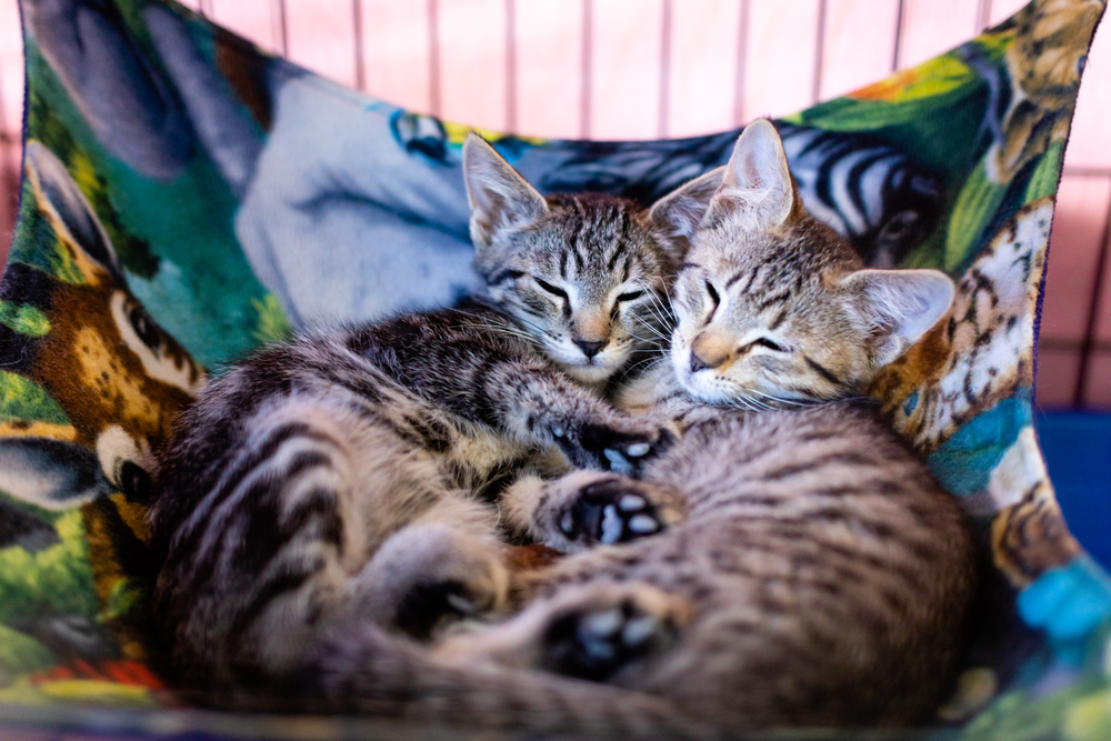 ゲージに付けられたハンモックで寝る子猫達