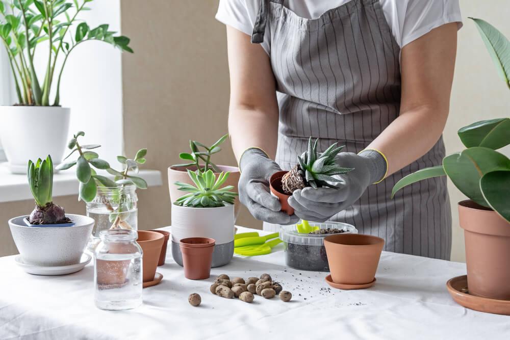 サボテンを植え替える女性