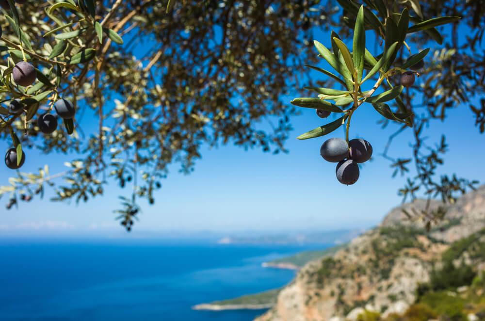 景色の良い場所に生えるオリーブの木と実